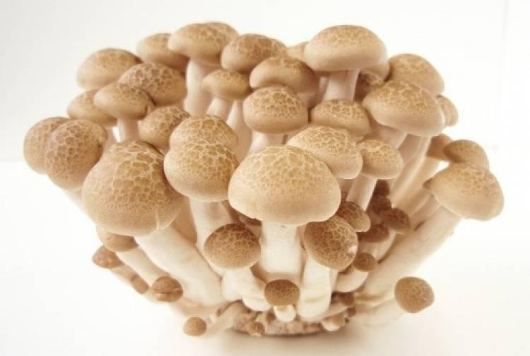 Projeto pesquisa produção do cogumelo shimeji para consumo e produção de embalagem ecológica em MS